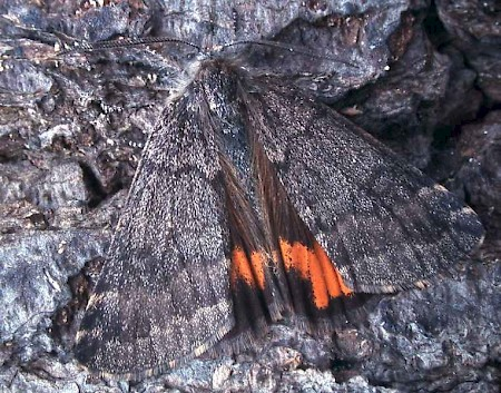 Light Orange Underwing Boudinotiana notha