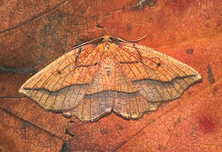 Bordered Beauty Epione repandaria