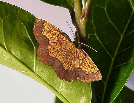 Dark Bordered Beauty Epione vespertaria