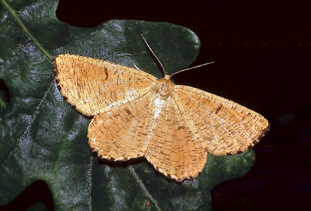 Orange Moth Angerona prunaria