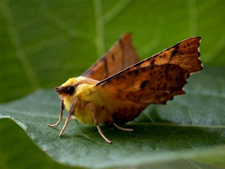 Canary-shouldered Thorn Ennomos alniaria