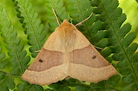 Scalloped Oak