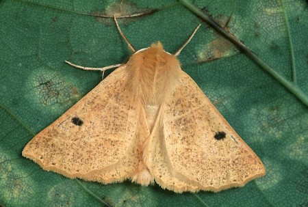 Scalloped Oak Crocallis elinguaria