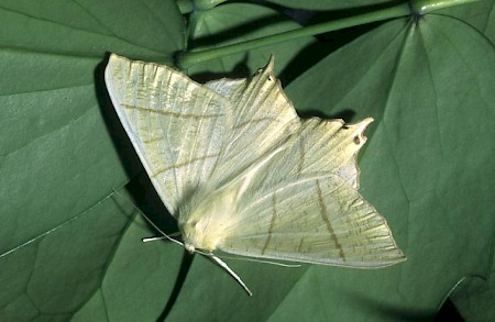 Swallow-tailed Moth Ourapteryx sambucaria