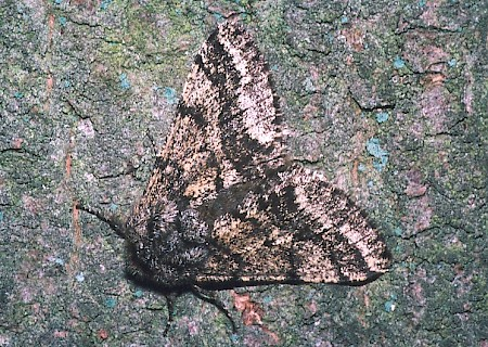 Brindled Beauty Lycia hirtaria