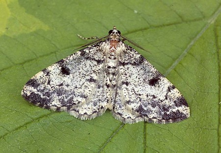 Dotted Carpet Alcis jubata