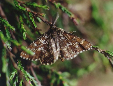 Common Heath Ematurga atomaria