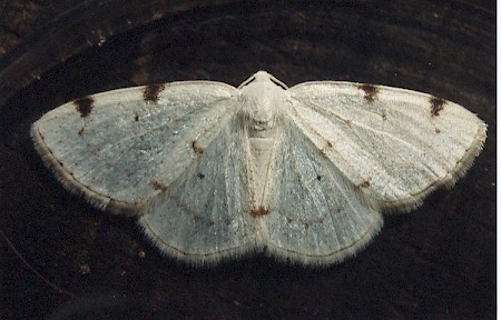 White-pinion Spotted Lomographa bimaculata