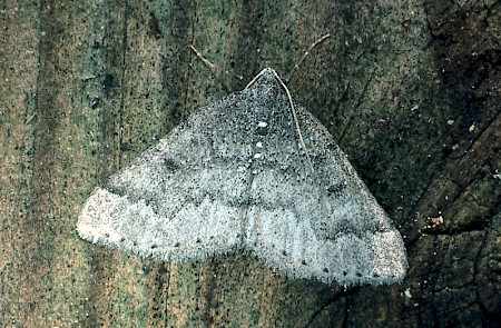 Sloe Carpet Aleucis distinctata