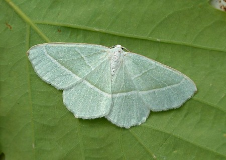 Light Emerald Campaea margaritaria