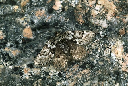 Black Mountain Moth Glacies coracina