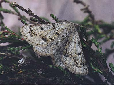 Grey Scalloped Bar Dyscia fagaria
