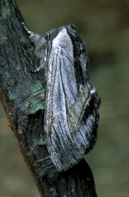 Tawny Prominent Harpyia milhauseri