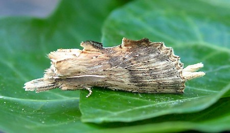 Pale Prominent Pterostoma palpina