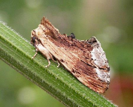 Maple Prominent Ptilodon cucullina