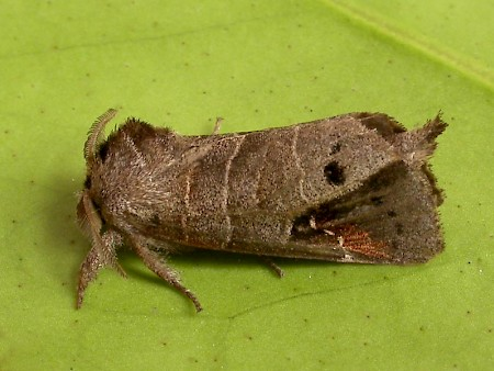 Scarce Chocolate-tip Clostera anachoreta