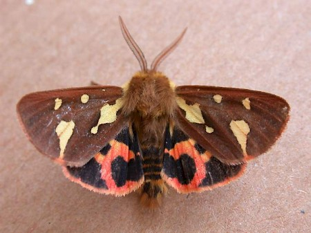 Patton's Tiger Hyphoraia testudinaria