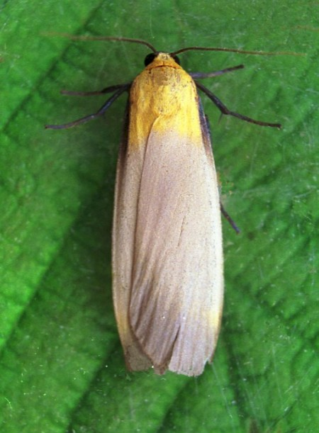 Four-spotted Footman Lithosia quadra