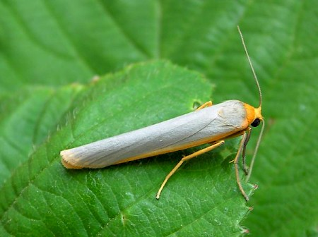 Scarce Footman Eilema complana