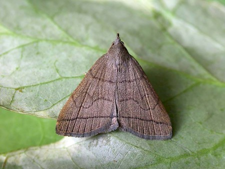 The Fan-foot Herminia tarsipennalis