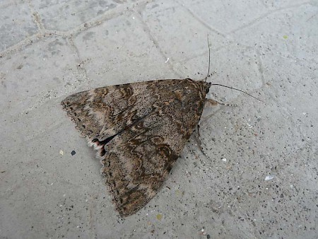 French Red Underwing Catocala elocata