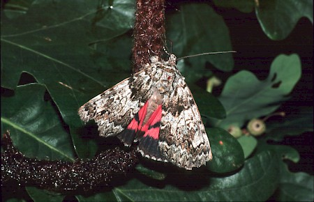 Light Crimson Underwing Catocala promissa