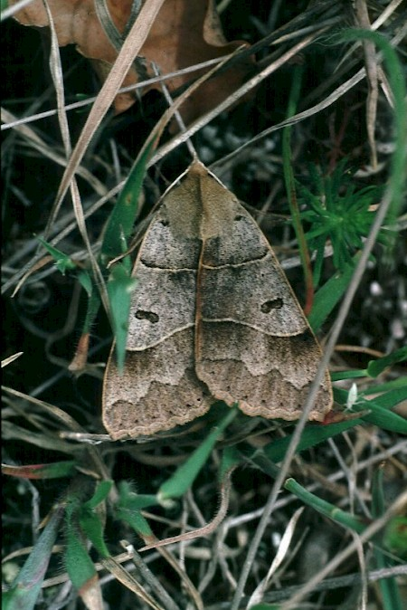 Lunar Double-stripe Minucia lunaris