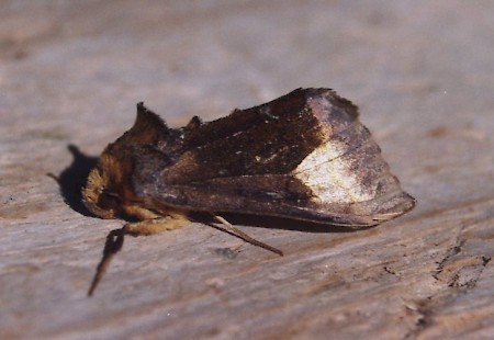 Scarce Burnished Brass Diachrysia chryson