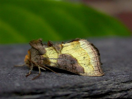 Burnished Brass Diachrysia chrysitis