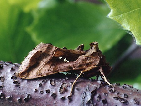 Plain Golden Y Autographa jota