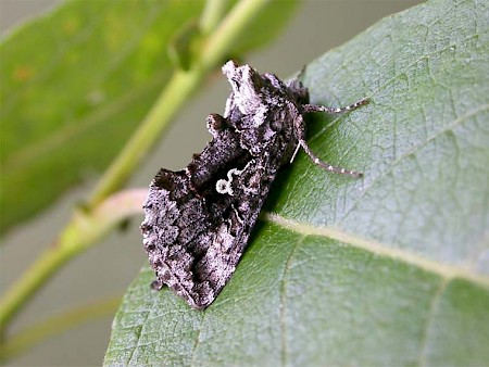 Scarce Silver Y Syngrapha interrogationis