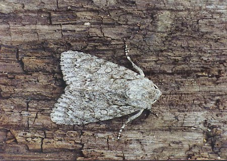The Sycamore Acronicta aceris
