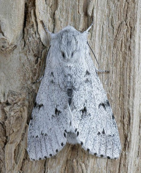 The Miller Acronicta leporina