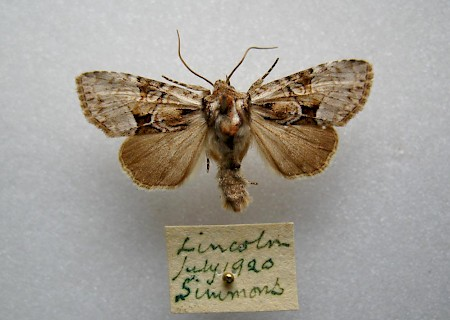 Union Rustic Pabulatrix pabulatricula
