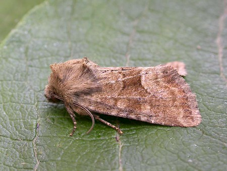 Middle-barred Minor Oligia fasciuncula