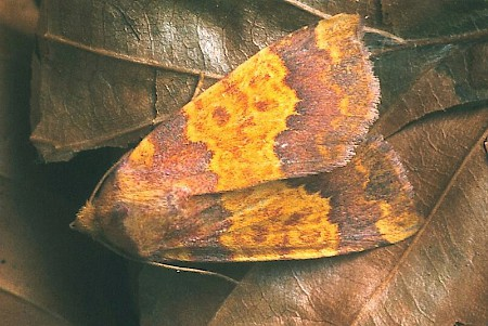 Barred Sallow Tiliacea aurago
