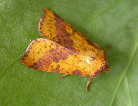 Pink-barred Sallow Xanthia togata