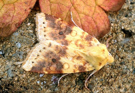 The Sallow Cirrhia icteritia