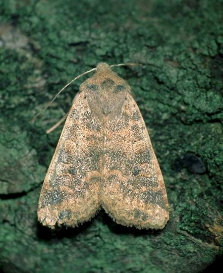 Dusky-lemon Sallow Cirrhia gilvago