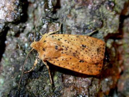 Dotted Chestnut Conistra rubiginea