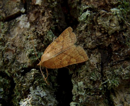 Orange Upperwing Jodia croceago