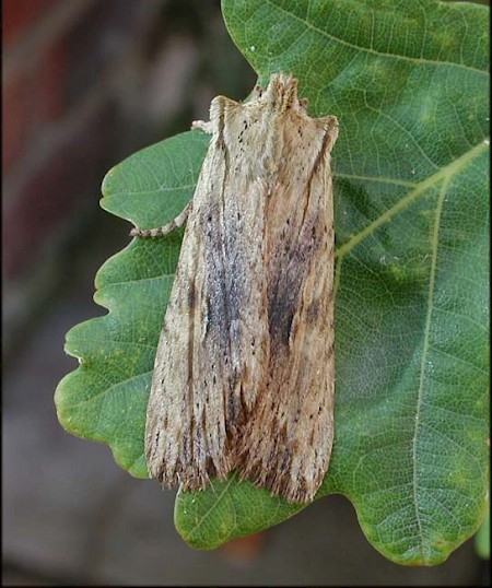 Pale Pinion Lithophane socia
