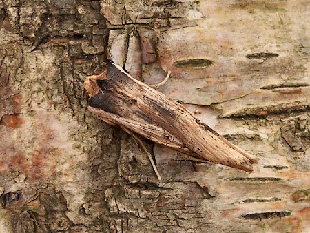 Sword-grass Xylena exsoleta