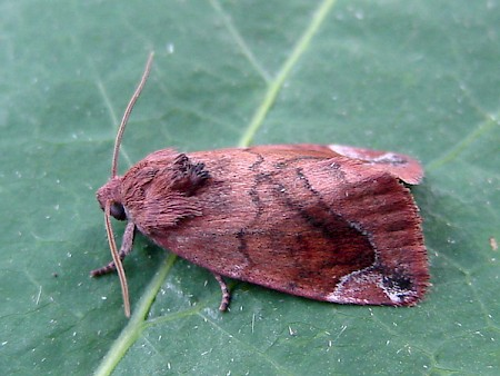 Lunar-spotted Pinion Cosmia pyralina