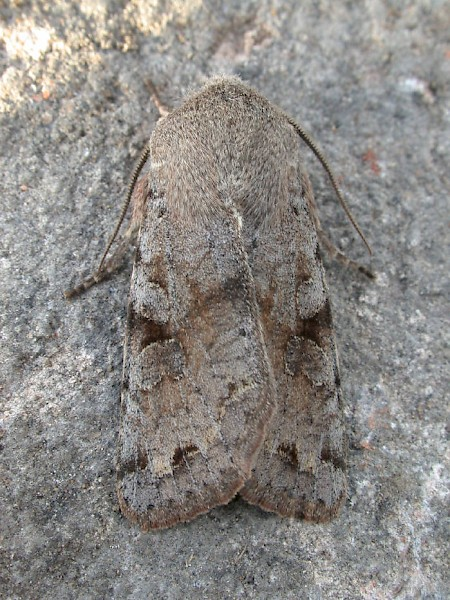 Clouded Drab Orthosia incerta