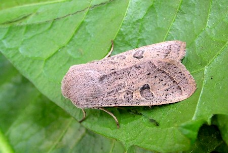 Powdered Quaker Orthosia gracilis