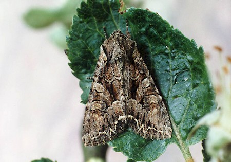 Pale-shouldered Brocade Lacanobia thalassina