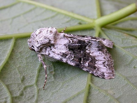 Broad-barred White Hecatera bicolorata