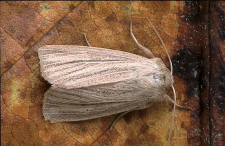 Striped Wainscot Mythimna pudorina