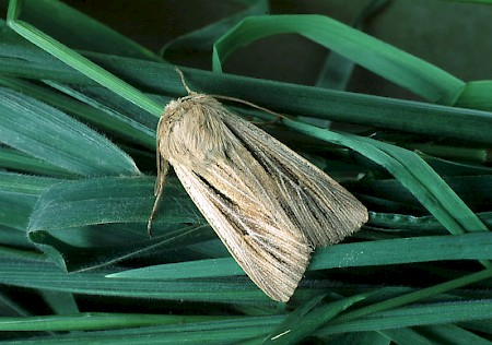 Shoulder-striped Wainscot Leucania comma